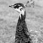 peacock at blair castle