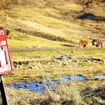 Shetland Ponies and a mailbox