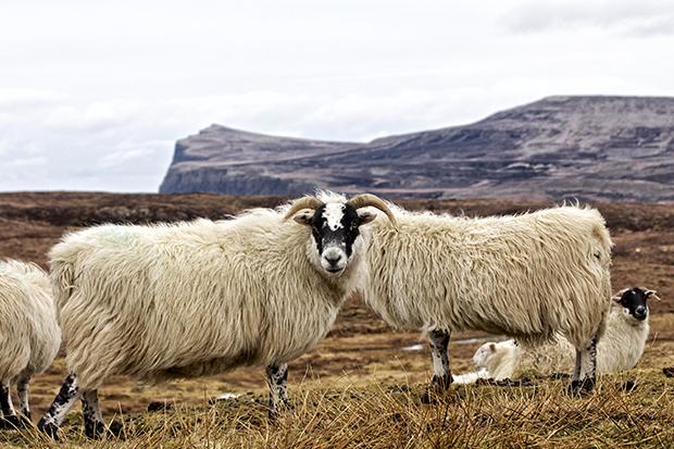 Janus sheep